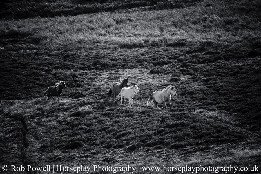 Carneddau-Ponies-0817