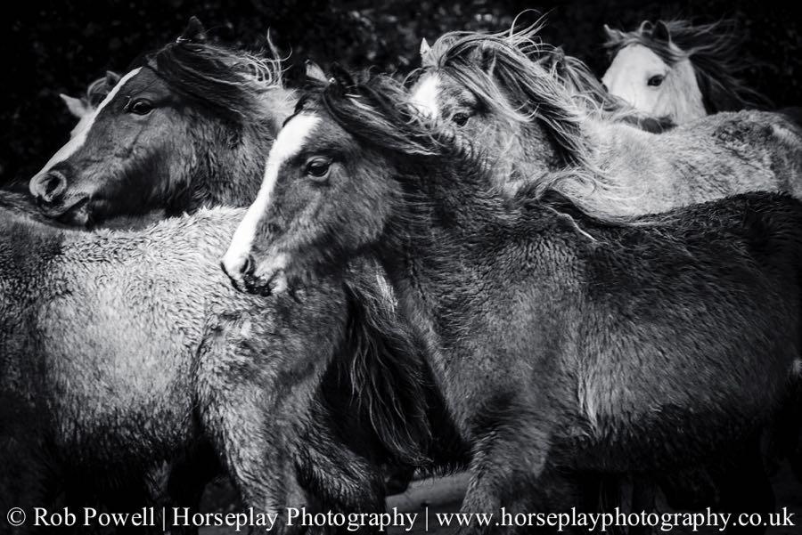 Carneddau-Ponies-0899-2