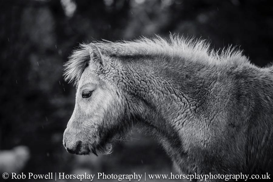 Carneddau-Ponies-0935
