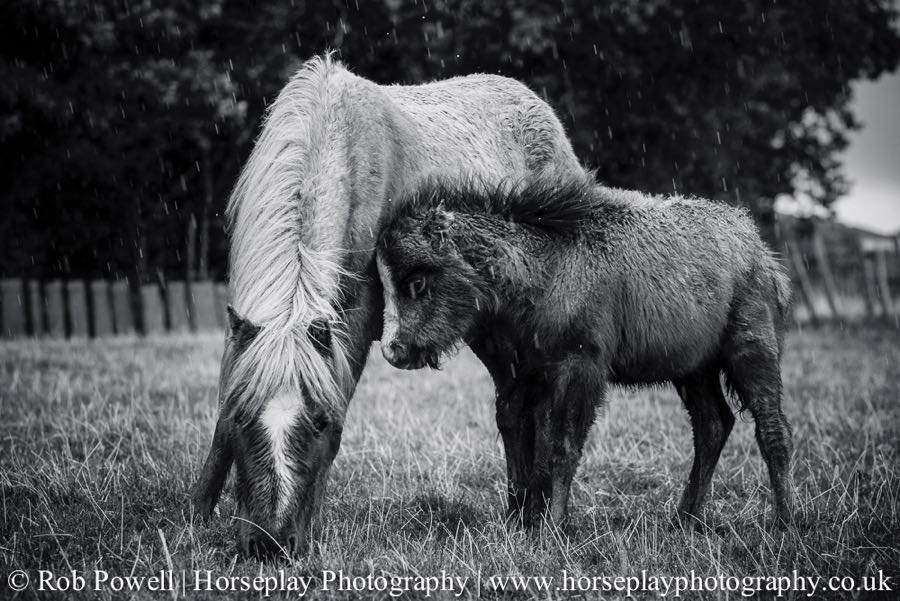 Carneddau-Ponies-0937
