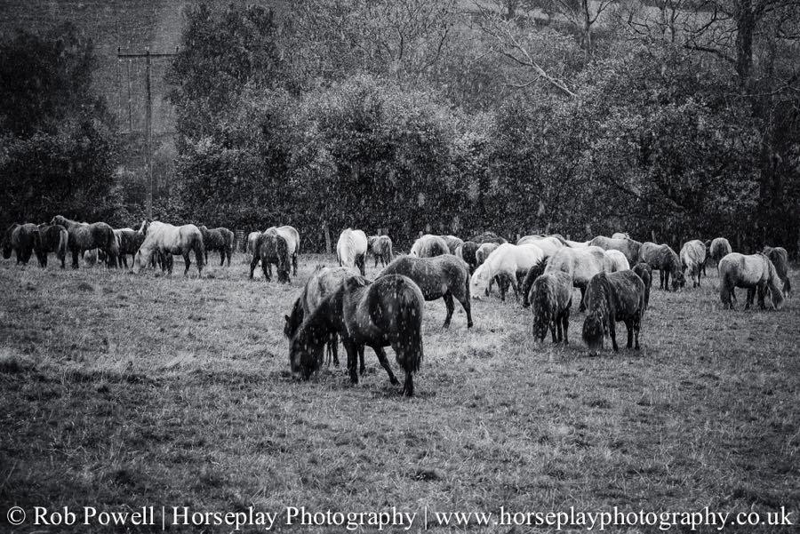 Carneddau-Ponies-0939