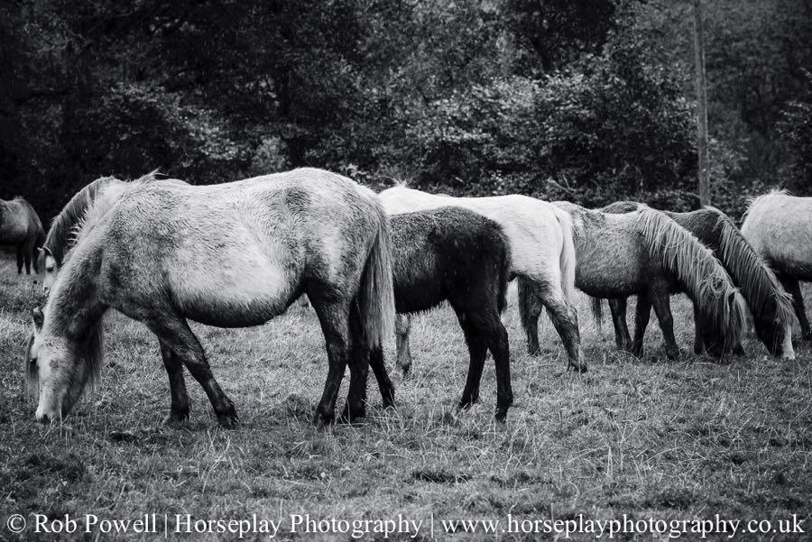 Carneddau-Ponies-0940
