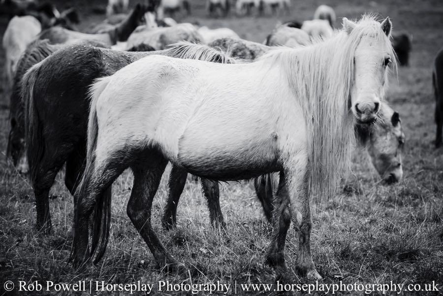 Carneddau-Ponies-0942