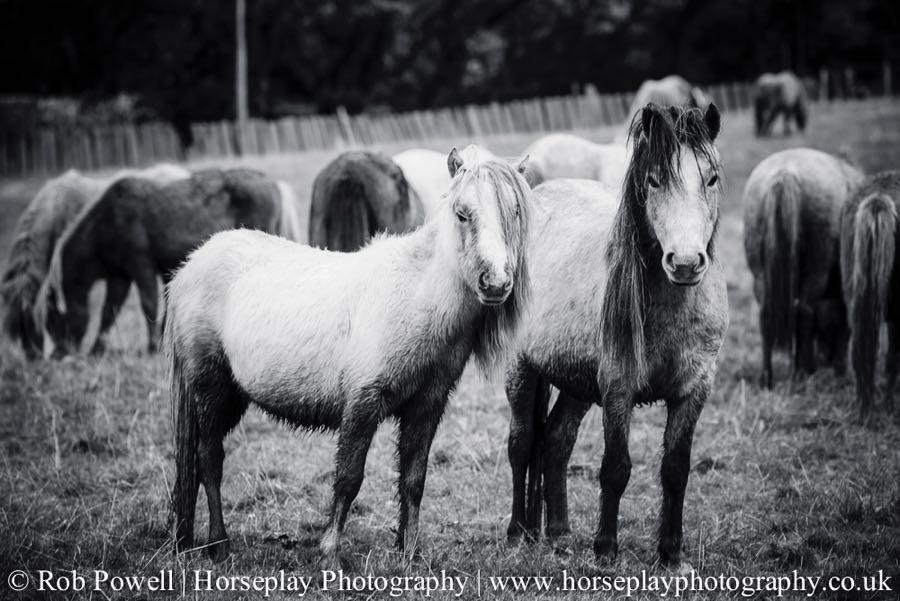 Carneddau-Ponies-0946