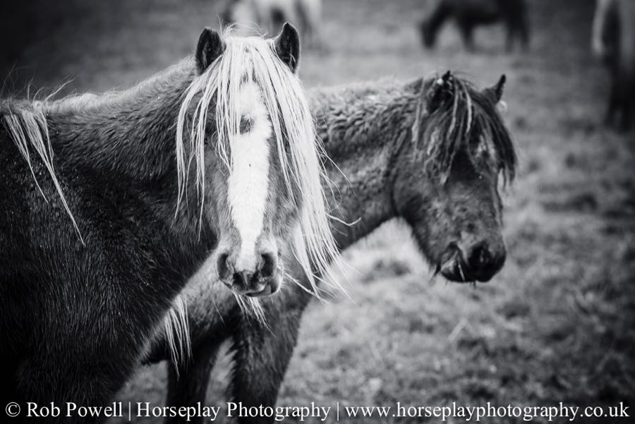 Carneddau-Ponies-0947