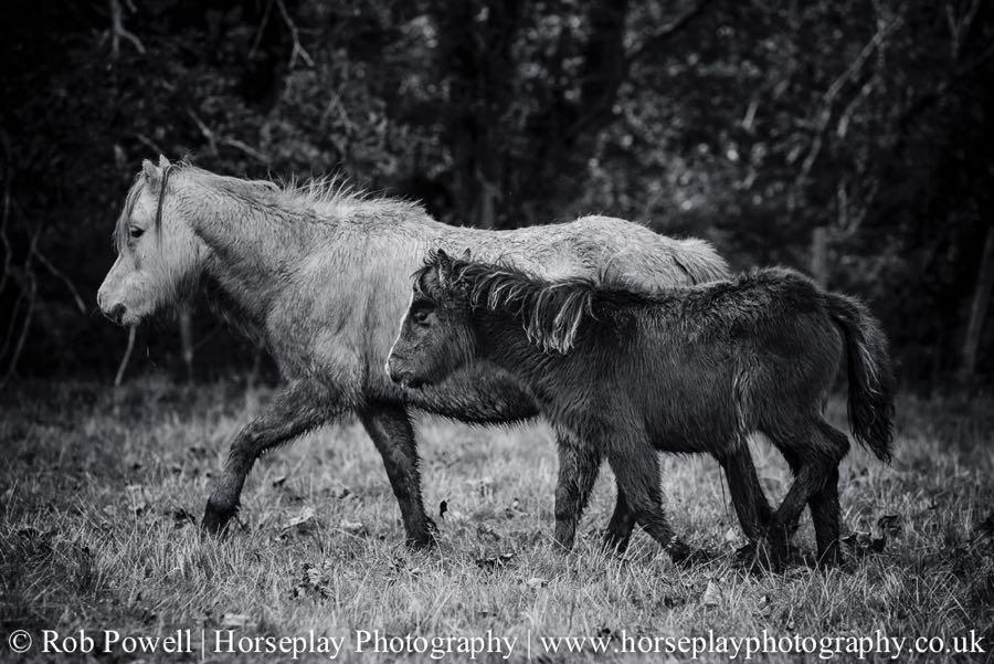 Carneddau-Ponies-1019