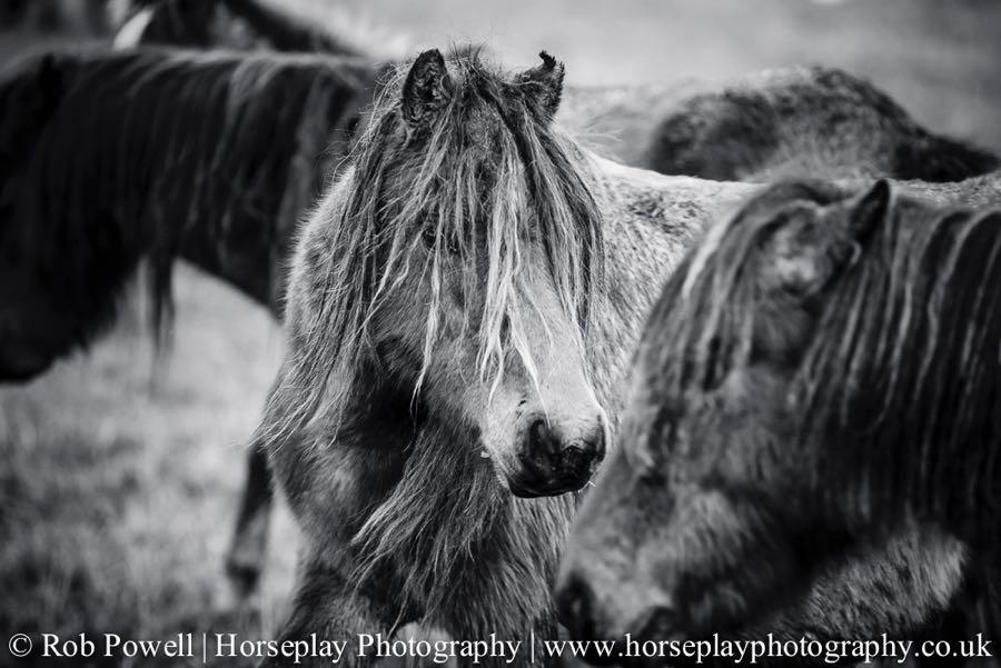 Carneddau-Ponies-1026
