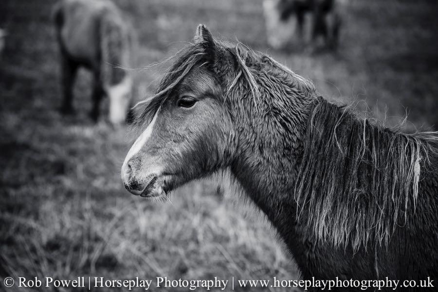 Carneddau-Ponies-1034