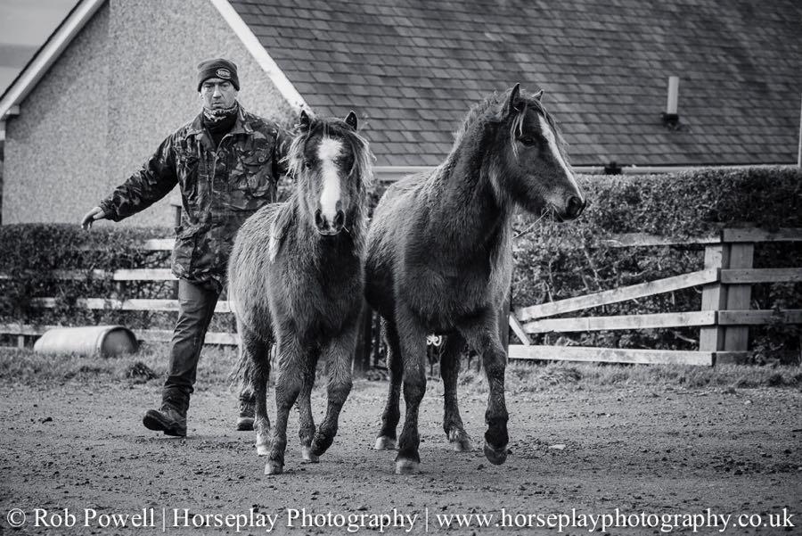 Carneddau-Ponies-1043
