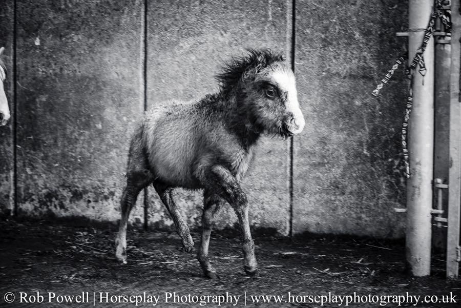 Carneddau-Ponies-1056