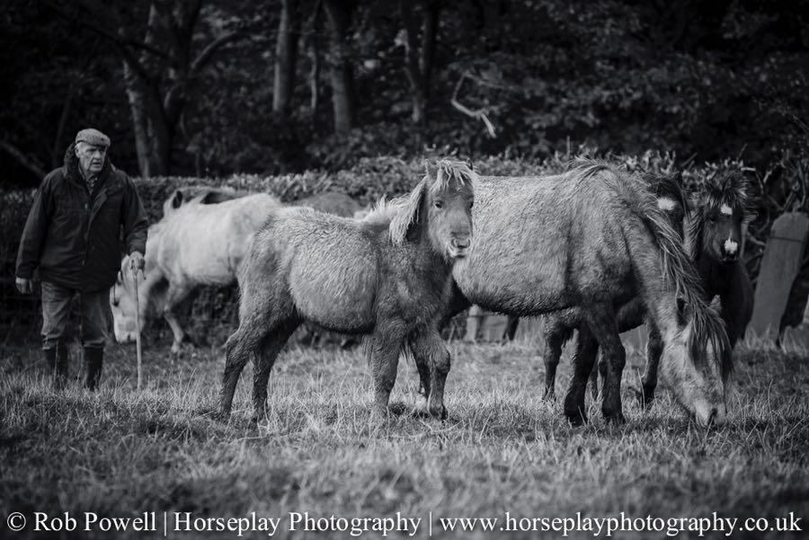 Carneddau-Ponies-1106